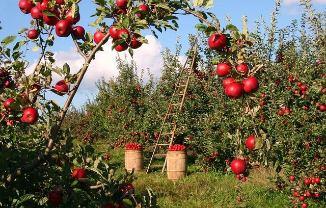 りんごの産地のイメージ