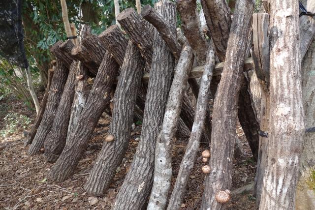 しいたけの原木栽培